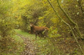 stag crossing path (640x426)