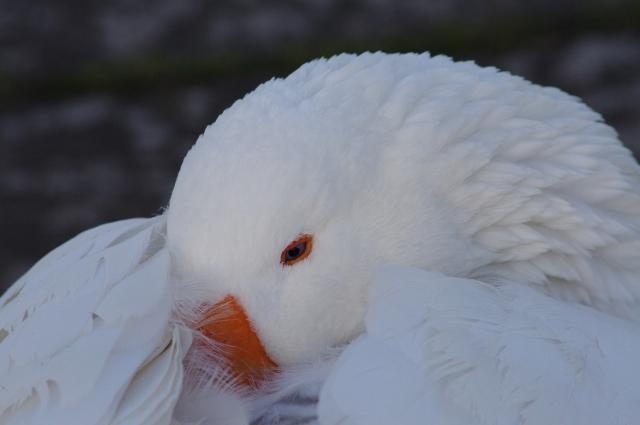 white goose 1 110121 (640x425)