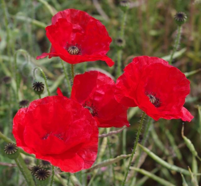 poppies-2-110713-640x594