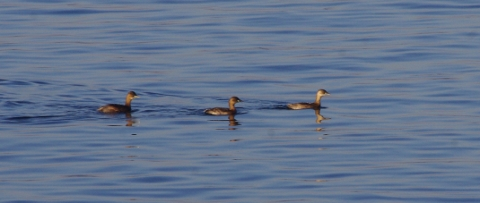 little-grebe-161229-480x203