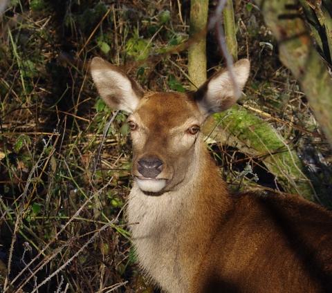 red-deer-161229-480x424