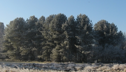 scots-pines-161229-480x276