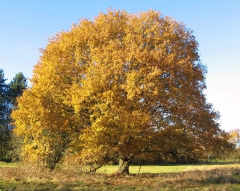 oak 161118 (2) (480x382)