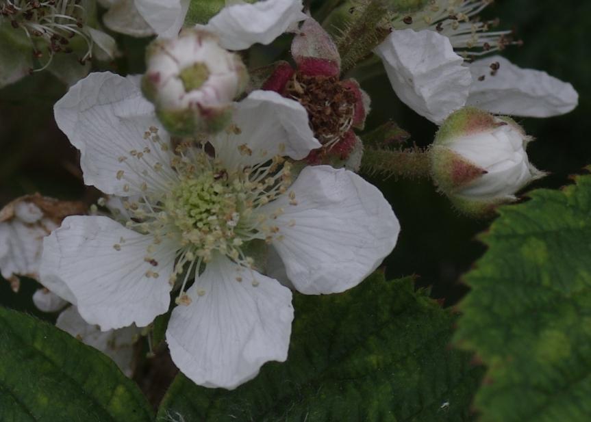 bramble blossom 170612