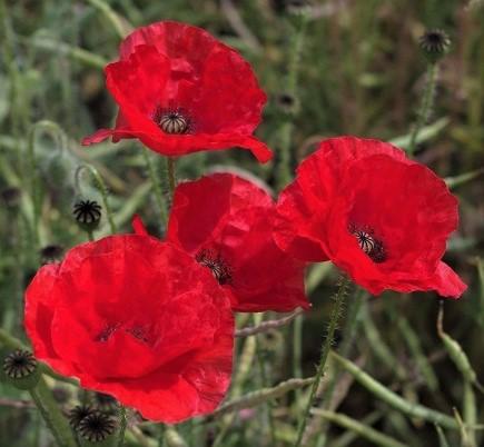 poppies 2 110713