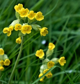 cowslips 180502