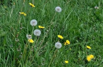 dandelions 180508