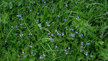 germander speedwell 180508