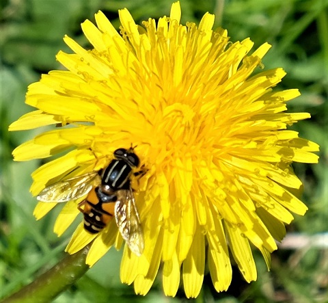hoverfly on dandelion 180502
