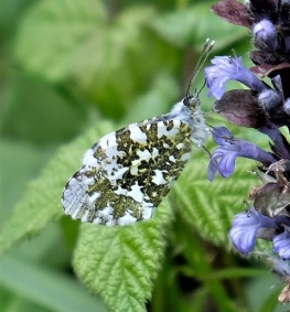orange tip on bugle 180508