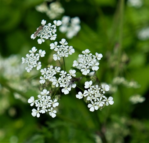 sweet cicely 180430 c