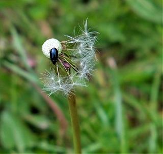 tiny shiny leaf beetle 180508