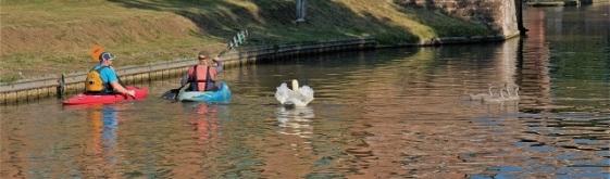 mute swan aggressive