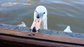 mute swan tame ...